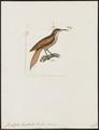 Picolaptes levaillantii - 1820-1860 - Print - Iconographia Zoologica - Special Collections University of Amsterdam - UBA01 IZ19200275.tif