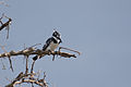 Pied Kingfisher - Queen Elizabeth National Park, Uganda (5).jpg