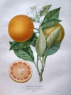 Pierre Antoine Poiteau - Plate from l'Histoire Naturelle des Orangers