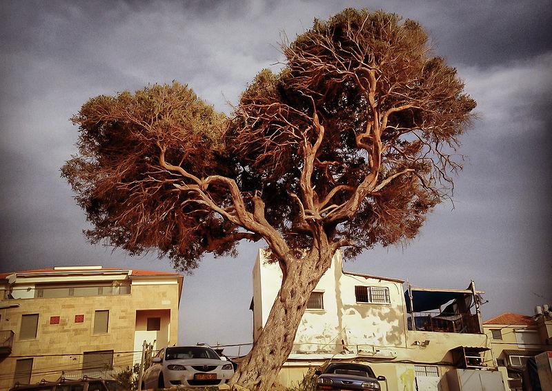 עץ אהבה