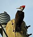 Pileated Woodpecker power pole.JPG