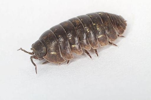 Pillbug (17152476067)