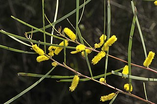 <i>Acacia caroleae</i> Species of plant