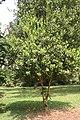 Pimenta Racemosa - 03.jpg