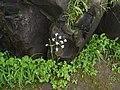 Pinda concanensis (5974145393).jpg