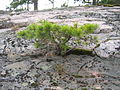Pine-starved-into-dwarfed-growth FI-EU 2007-Aug-12 by-RAM.JPG