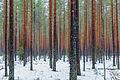 Pinewood in the Karelian Isthmus 01.jpg