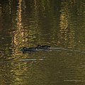 Pink-eared duck Burke River Boulia Queensland P1030483.jpg
