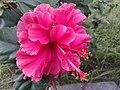 Pink flower of hibiscus.jpg