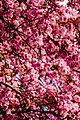 Pink flowers in the park1.jpg