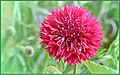 Pinkish Cornflower (209824515).jpeg