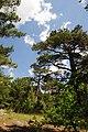 Pinus brutia, Findikli 3.jpg