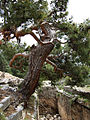 Pinus brutia Arykanda 3.jpg