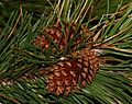 Pinus contorta (Lodgepole Pine) - cones - Flickr - S. Rae.jpg