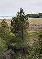 Pinus halepensis, Réserve naturelle régionale de Sainte Lucie 02.jpg