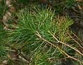 Pinus lambertiana (Sugar Pine) - foliage - Flickr - S. Rae (1).jpg