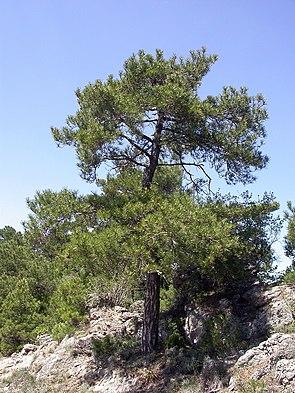 Pyrenäen-Kiefer (Pinus nigra subsp. salzmannii)
