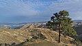 Pinus ponderosa var. ponderosa 8.jpg
