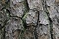 Pinus taeda CG 4 NBG LR.jpg