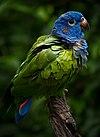 Pionus menstruus -La Senda Verde Animal Refuge -Bolivia-8d