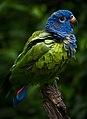 Pionus menstruus -La Senda Verde Animal Refuge -Bolivia-8d.jpg