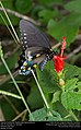 Pipevine Swallowtail (Papilionidae, Battus philenor) (30735504160).jpg