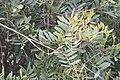 Pistacia lentiscus-3220.jpg