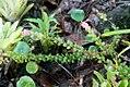 Pitcairnia heterophylla 1zz.jpg