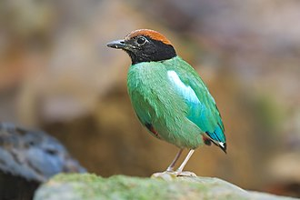Pitta - Hooded pitta