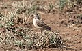 Plain-backed Pipit (Anthus leucophrys) (45852865804).jpg