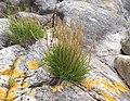 Plantago maritima plant (23).jpg