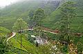 Plantations de thé dans la région de Nuwara Eliya.jpg