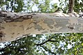 Platanus × acerifolia - Platan kora (7).jpg