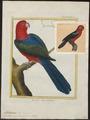 Platycercus amboinensis - 1700-1880 - Print - Iconographia Zoologica - Special Collections University of Amsterdam - UBA01 IZ18500019.tif