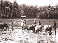 Plawing land for land cultivation in Kerala (1901).jpg