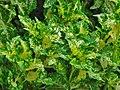 Plectranthus scutellarioides ( Lamiaceae ).jpg