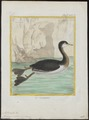 Podiceps minor - 1700-1880 - Print - Iconographia Zoologica - Special Collections University of Amsterdam - UBA01 IZ17800105.tif