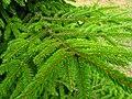 Podlaskie - Suprasl - Kopna Gora - Arboretum - Picea orientalis 'Aurea' - branch.JPG