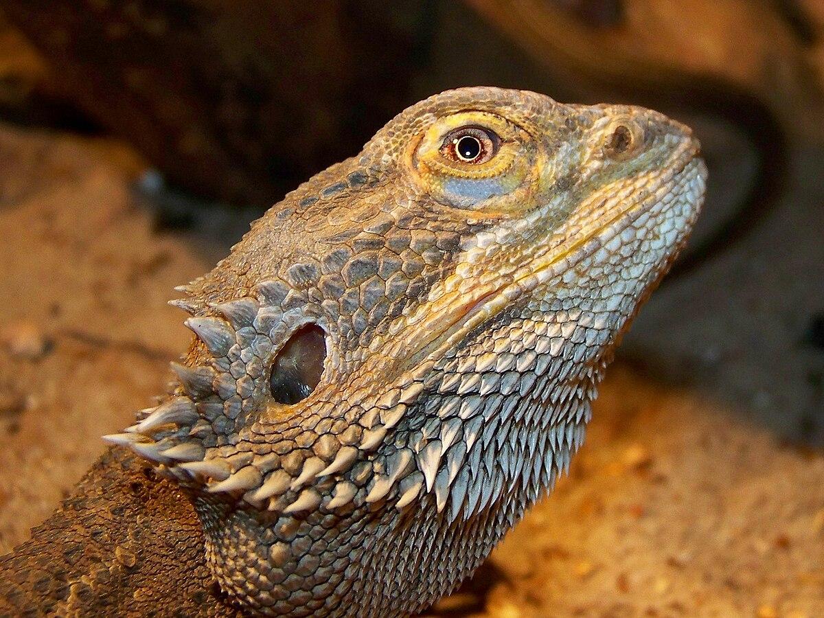 Pogona vitticeps - Wikipedia, la enciclopedia libre