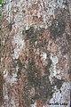 Pogonophora schomburgkiana, cocão - Flickr - Tarciso Leão (3).jpg