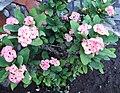 Poisonous Flower-Porto Ulisse-Ognina-Catania-Sicilia-Italy-Castielli CC0 HQ - panoramio - gnuckx.jpg