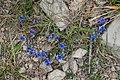 Polygala calcarea in Aveyron (20).jpg