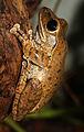 Polypedates-leucomystax-ruderfrosch.jpg