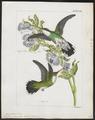 Polytmus albicollis - 1820-1860 - Print - Iconographia Zoologica - Special Collections University of Amsterdam - UBA01 IZ19100081.tif