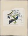 Polytmus bicolor - 1820-1860 - Print - Iconographia Zoologica - Special Collections University of Amsterdam - UBA01 IZ19100163.tif