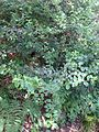 Pomaderris vacciniifolia.jpg