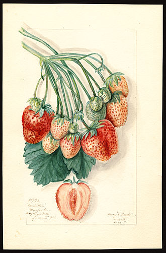 Pomological Watercolor Collection - Watercolor by Mary Daisy Arnold of the Manhattan variety of strawberries (Fragaria species), 1911.