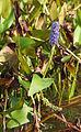 Pontederia cordata LC0100.jpg