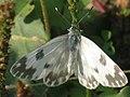 Pontia edusa - Eastern Bath white - Белянка рапсовая (41178035411).jpg