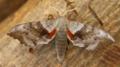 Poplar hawk moth - laothoe populi (27535823287).png